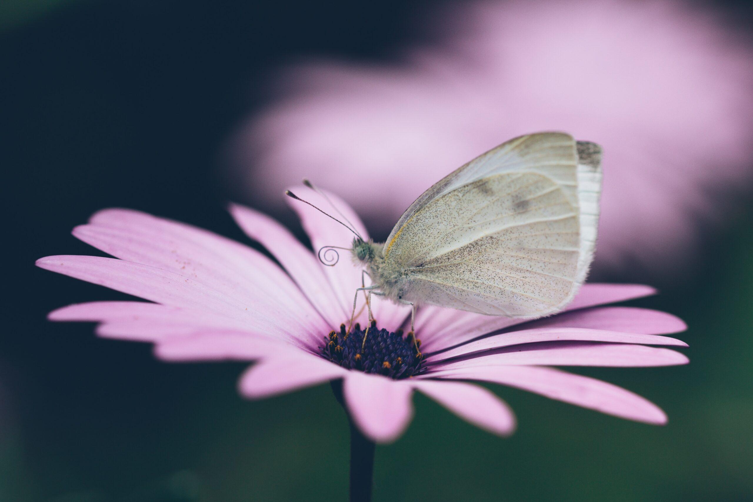 Papillon sur fleur rose-illustration accompagnement S'habiller Vrai-Anne Rose Lovink